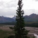 Old tree standing guard in Denali National Park & Preserve